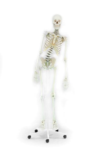 """Skelett """"Toni"""" 176 cm, 9,5 kg"""