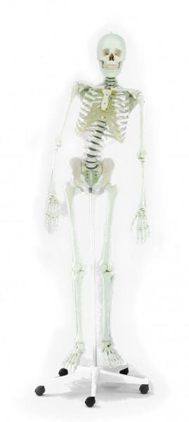"""Skelett """"Hugo"""" 176 cm, 9,5 kg"""