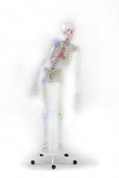 """Skelett """"Max"""" 176 cm, 9,5 kg"""