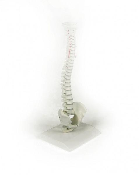 Miniatur-Wirbelsäule, 38 cm, 0,2 kg