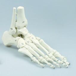 Fußskelett mit Schien- und Wadenbeinansatz, nummeriert, ohne Stativ