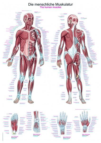 """Lehrtafel """"Die menschliche Muskulatur"""""""
