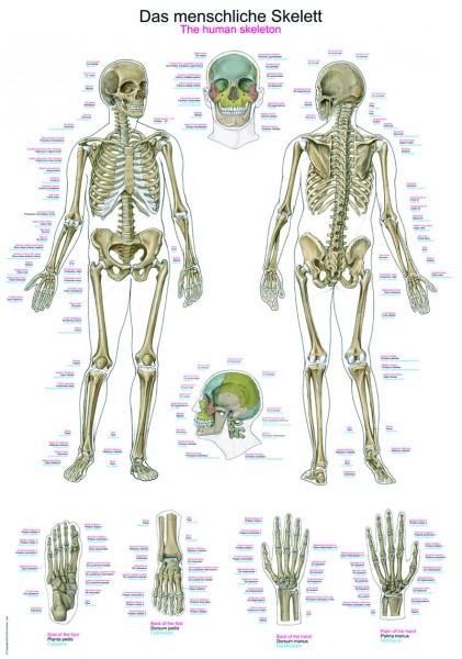 """Lehrtafel """"Das menschliche Skelett"""""""