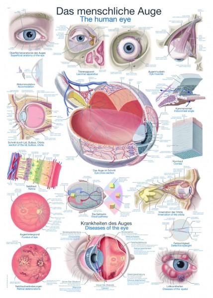 """Lehrtafel """"Das menschliche Auge"""""""