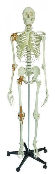 Skelett · mit 6 Gelenkbändern · Höhe inkl. Stativ: 180 cm