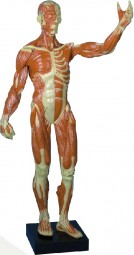 Muskelfigur 1/3 naturliche Größe, 62cm, 5,1 kg